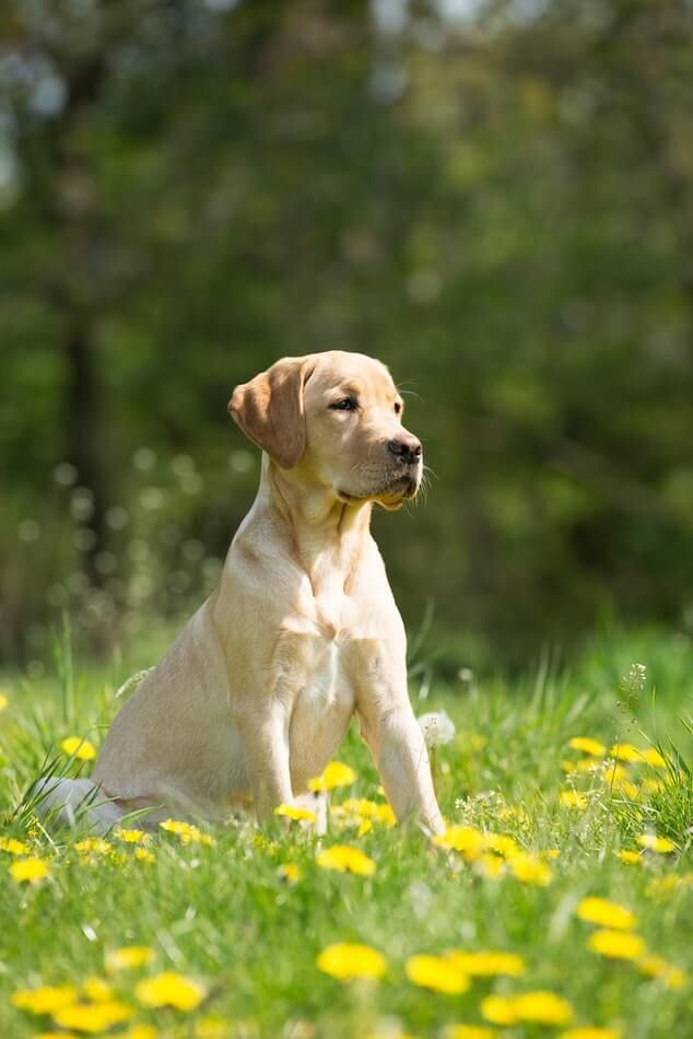 How To Treat Dog Diarrhea Dogs Labrador Retriever Dogs Dog Treats Grain Free