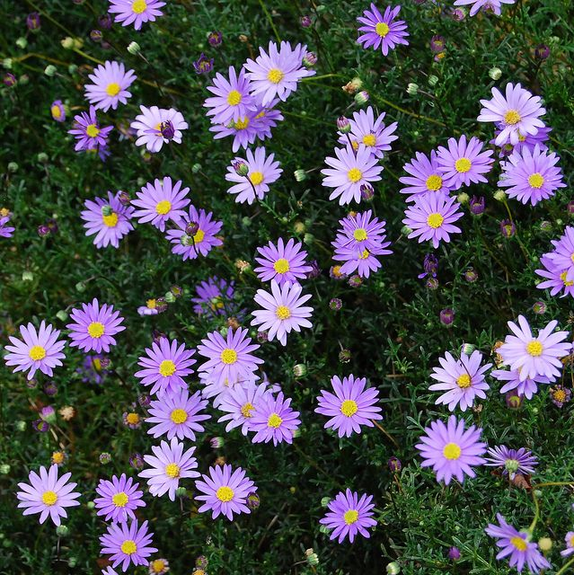 Growing Australian Native Plants: Cut Leaf Daisy (Brachyscome Multifida)