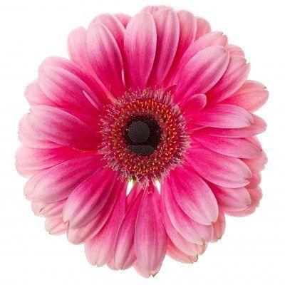 Rose Gerbera Fleur Gros Plan Isole Sur Fond Blanc Pink