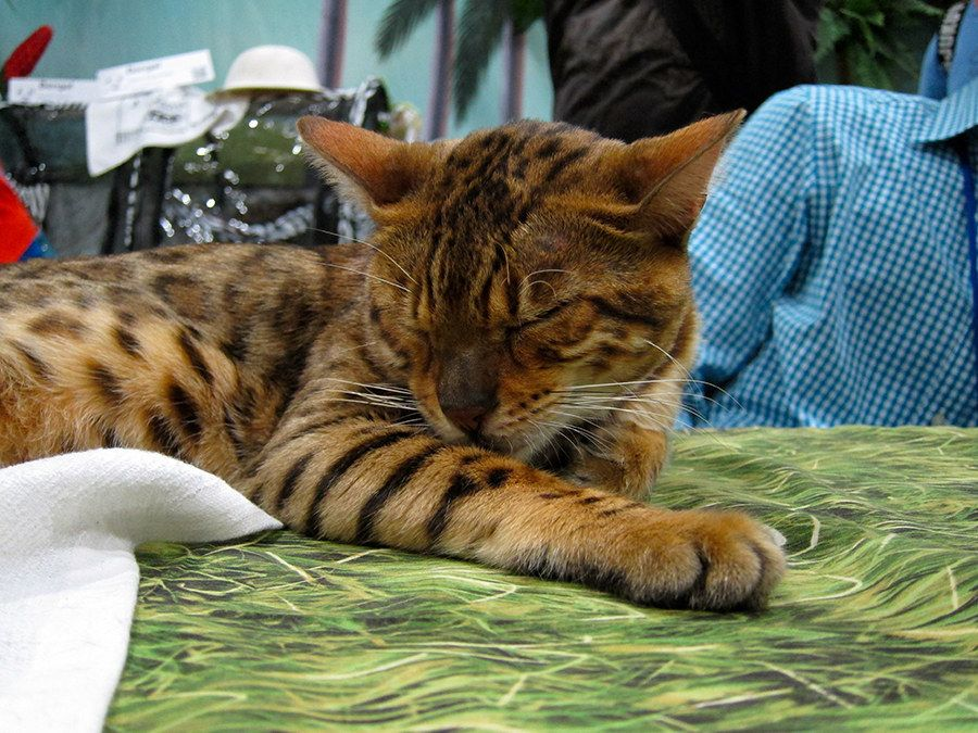 6 Brilliant Facts About Bengal Cats Cat facts, Cats, Cat