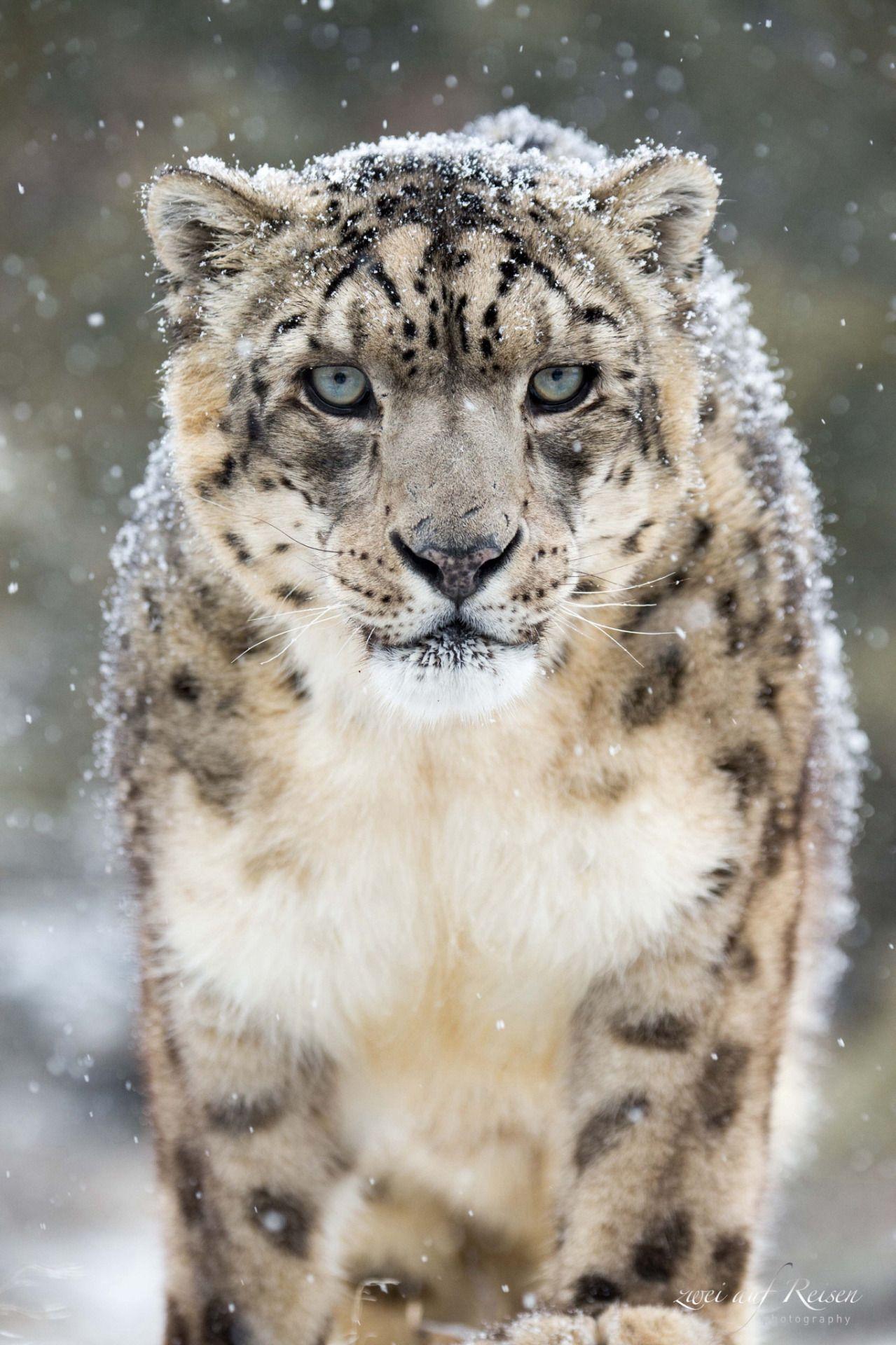Beautiful-wildlife Snow Leopard In Winter Zweiaufreisen Animales Animals
