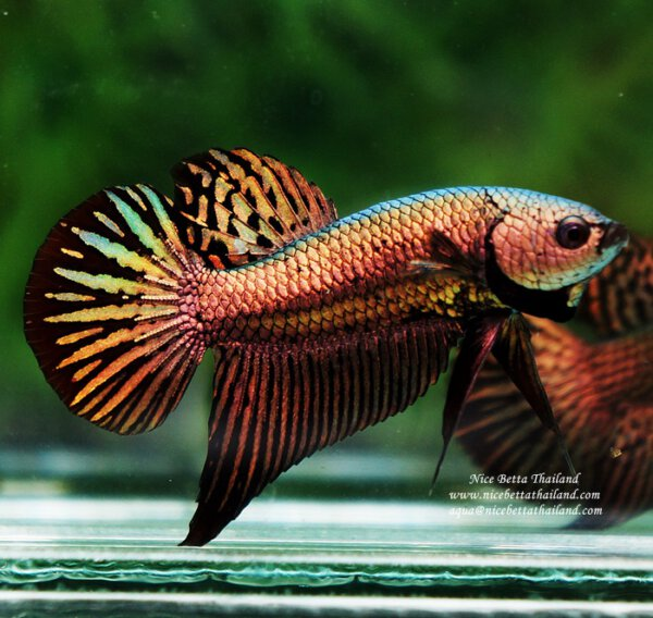 Nice Betta Thailand Co Ltd Betta Fish For Sale Siamese Fighting Fish Betta Fish Siamese Fighting Fish Betta