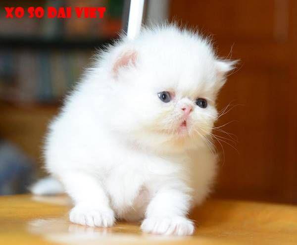 ý nghĩa khi nằm mơ thấy mèo trắng