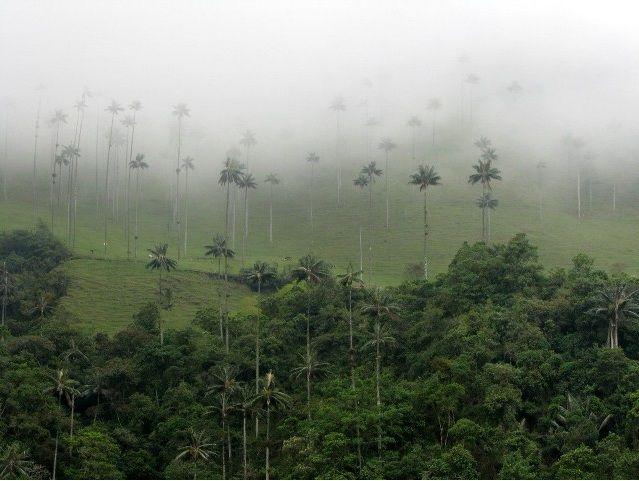 Palmas de cera, el árbol nacional, Valle del Cocora