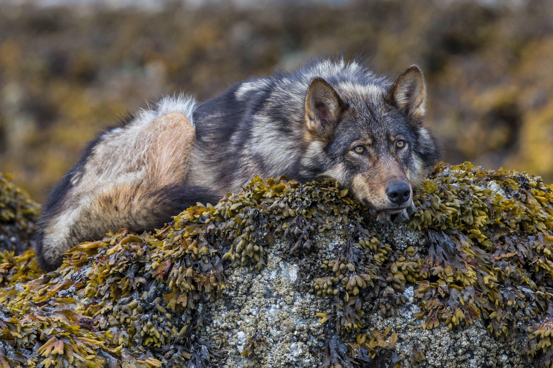 будет волки камчатки фото сниженном иммунитете наблюдается
