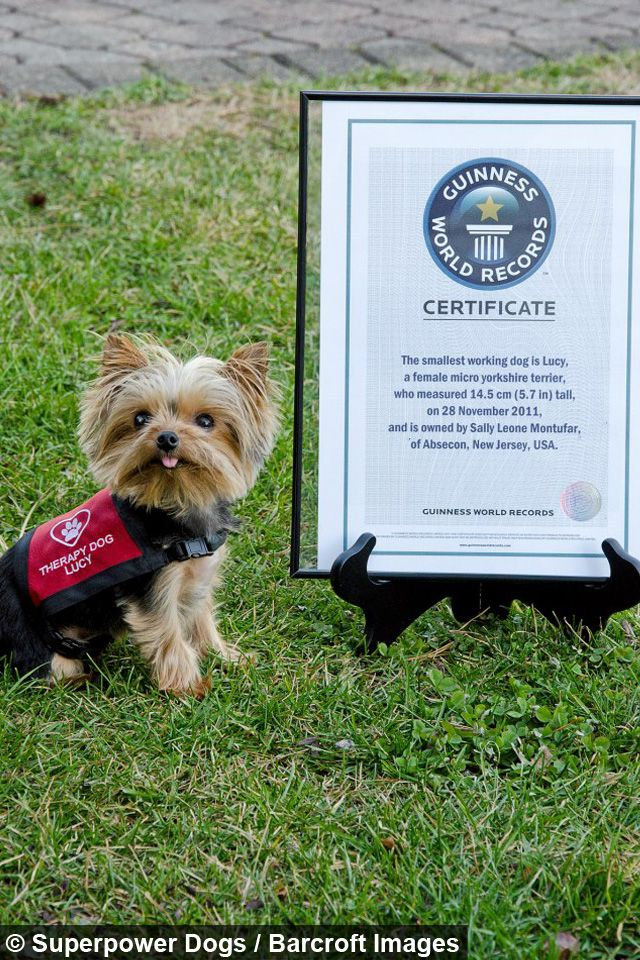 Superpower Dogs Worlds Smallest Working Dog Spirit Lifters