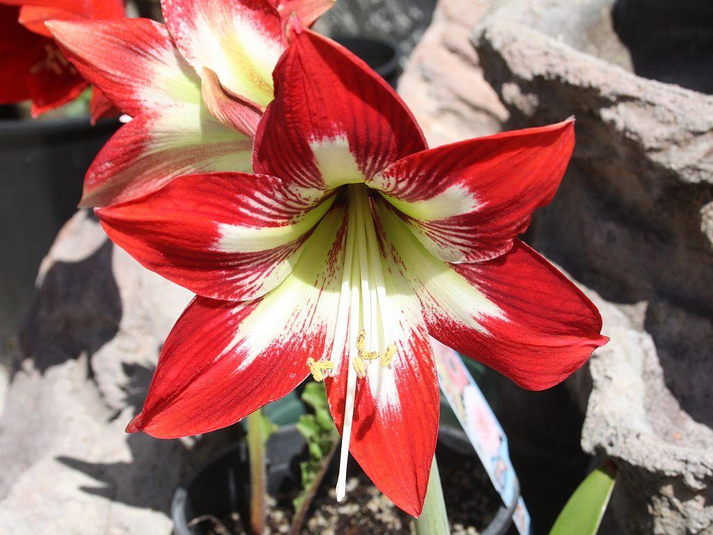 Amaryllis Amaryllis Plant Amaryllis Red Amaryllis