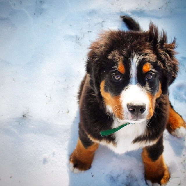 19 Bernese Mountain Puppies Who Just Want To Make Your Day