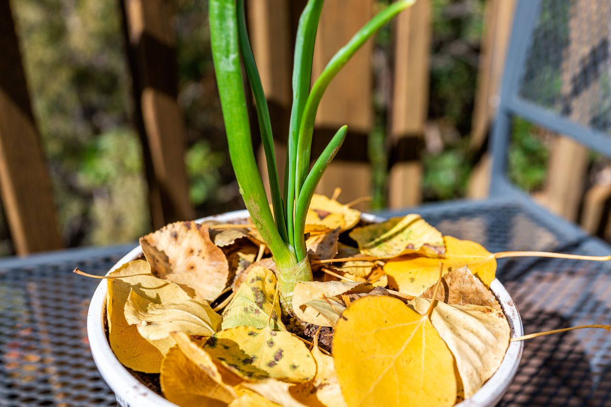 Aprende a cultivar ajo en una maceta y ahorra en el mandado