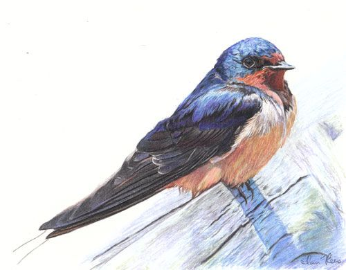 Barn Swallow Created Using Faber Castell Albrecht Durer Watercolor Pencils On Bristol Paper Color Pencil DrawingsBarn