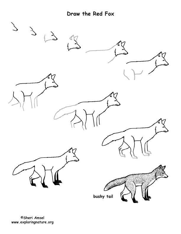 Fox Red Drawing Lesson How To Draw A Fox For The Boys