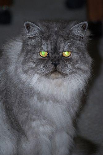 Blue Smoke Persian Cat Persian Cat