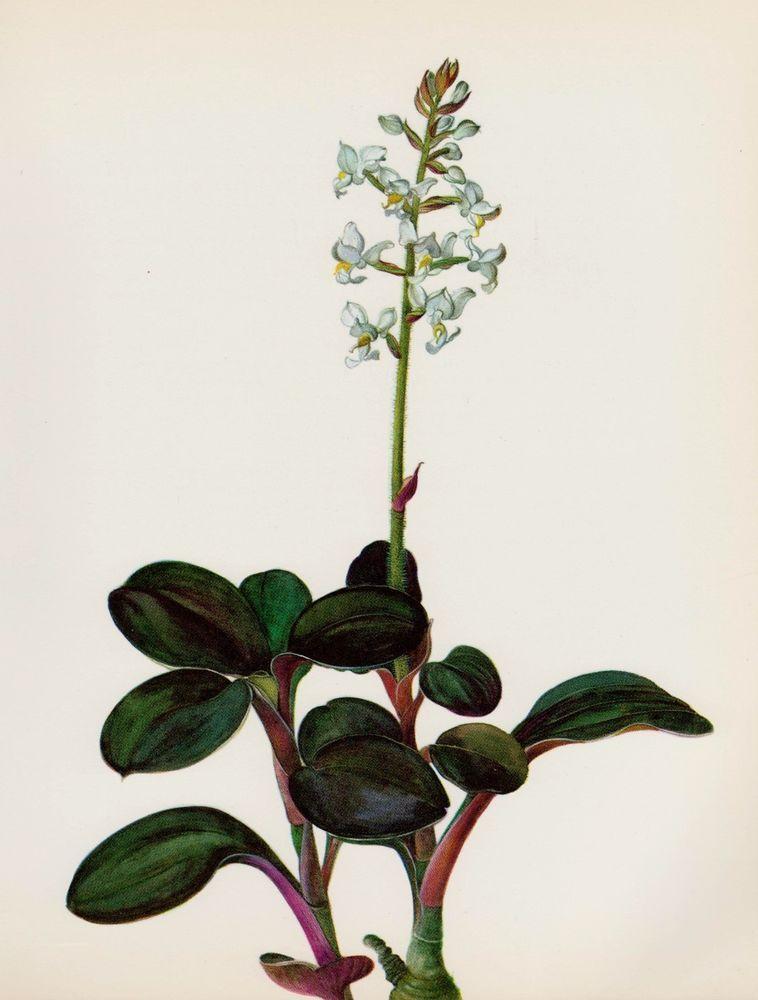 Lovely Botanical Orchid Print Vintage White Flower Print Anoectochilus R 1599 Vintage Flower Prints Art Vintage Art Prints Botanical Orchids