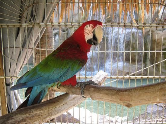Macaw in front of waterfall at the Radisson-Aruba.  This bird was hysterical.  He would whistle and talk your ear off!