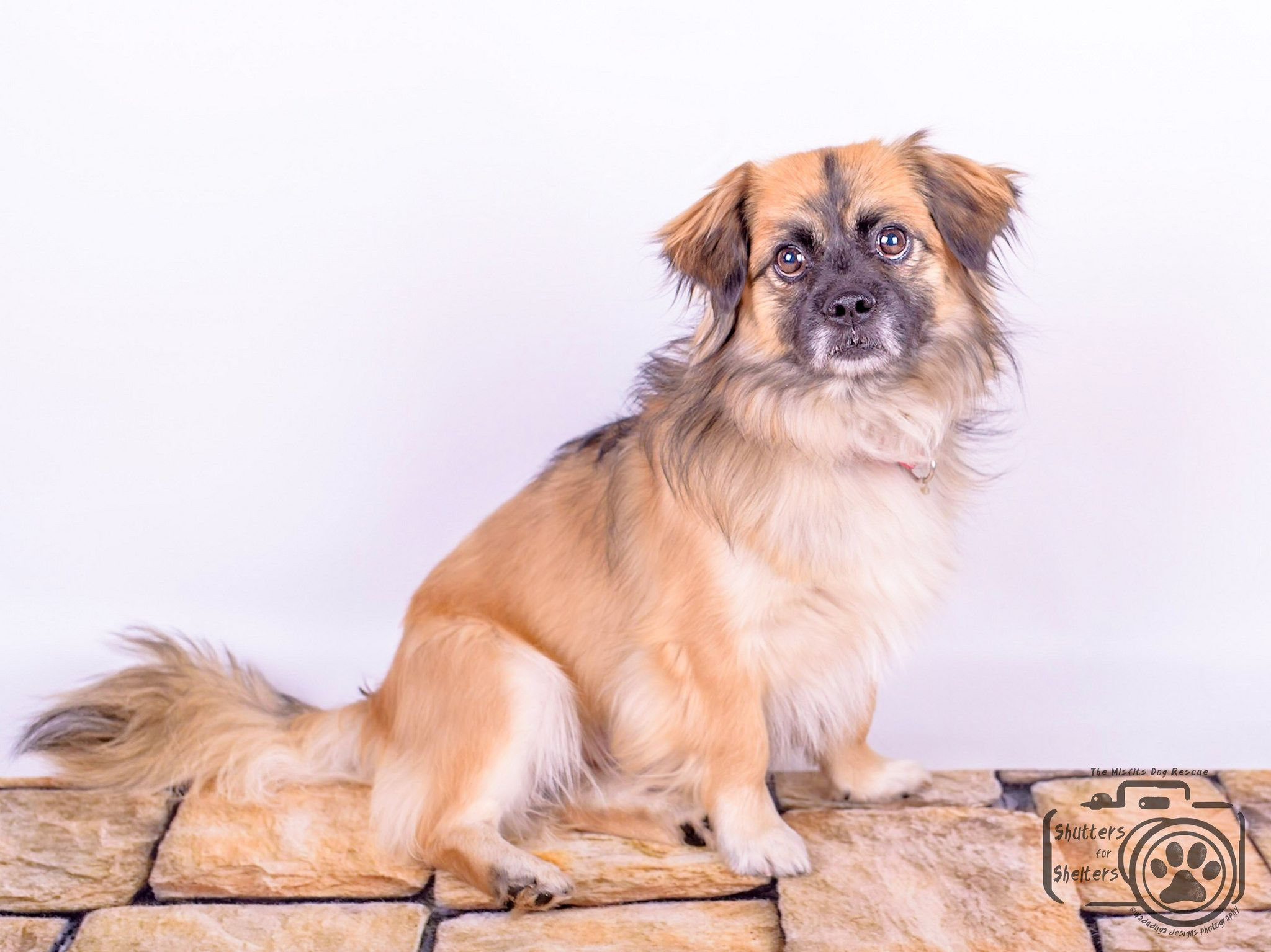 Tibetan Spaniel Dog For Adoption In Colorado Springs Co Adn 817927 On Puppyfinder Com Gender Male Age Y Dog Adoption Tibetan Spaniel Spaniel Dog