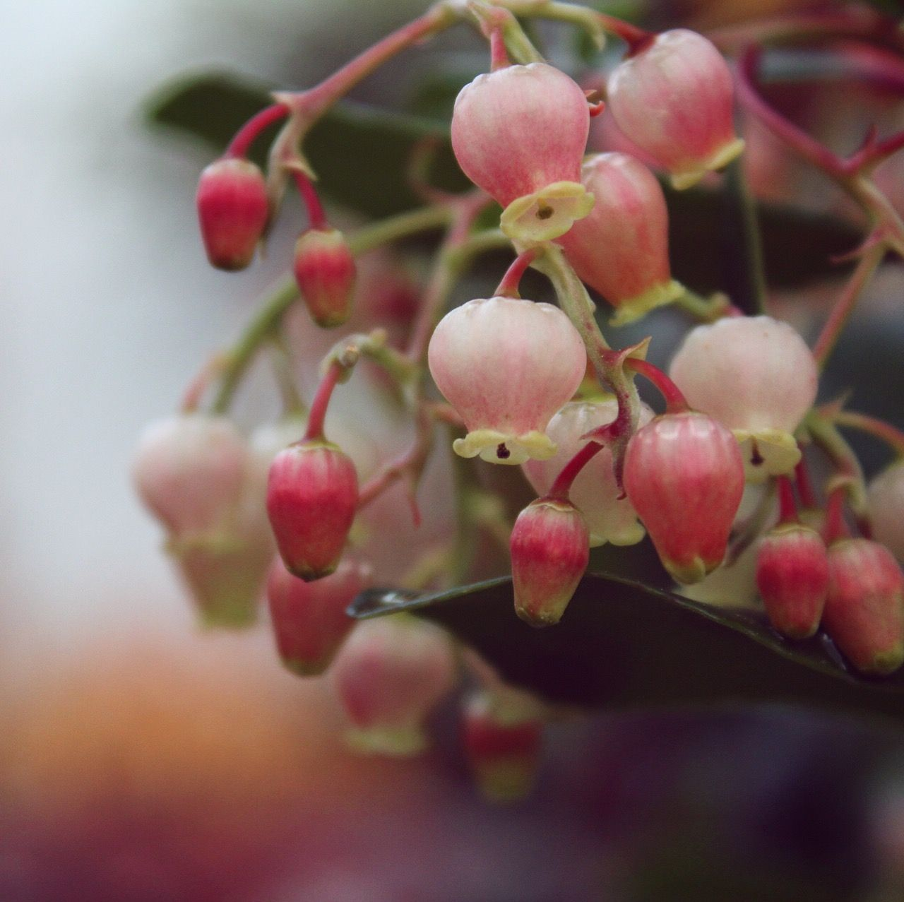 The Beautiful Bell Shaped Flowers Of Arbutus Unedo Rubra As Seen At