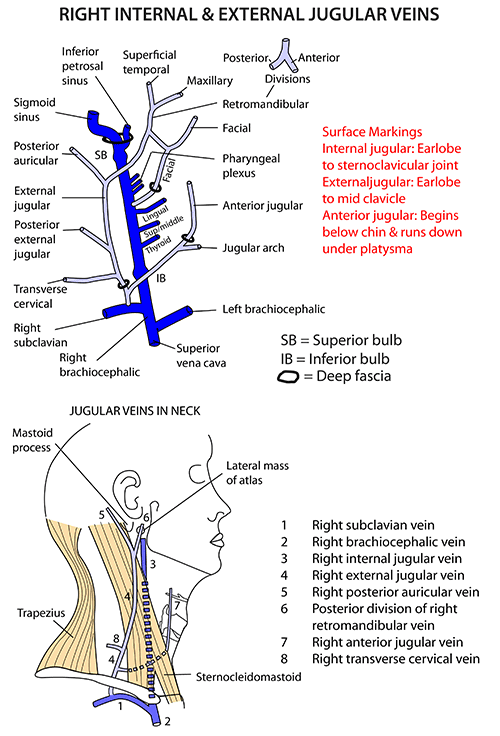 Instant Anatomy Head And Neck Surface External Jugular Vein