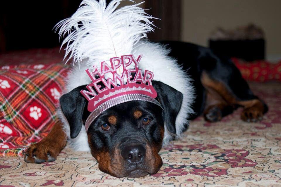 Rottweiler Happy New Year Rottweiler Rottie Animals