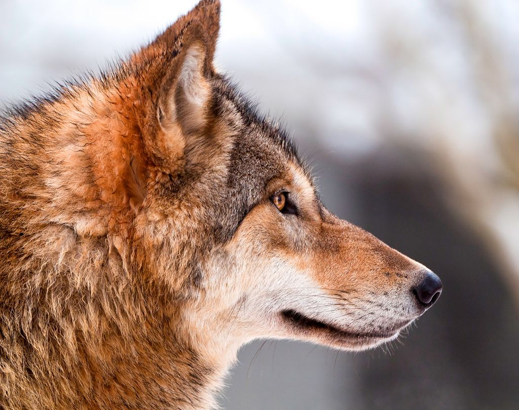 Wolf Profile Wolf Dog Wolf Photos Wolf Pictures
