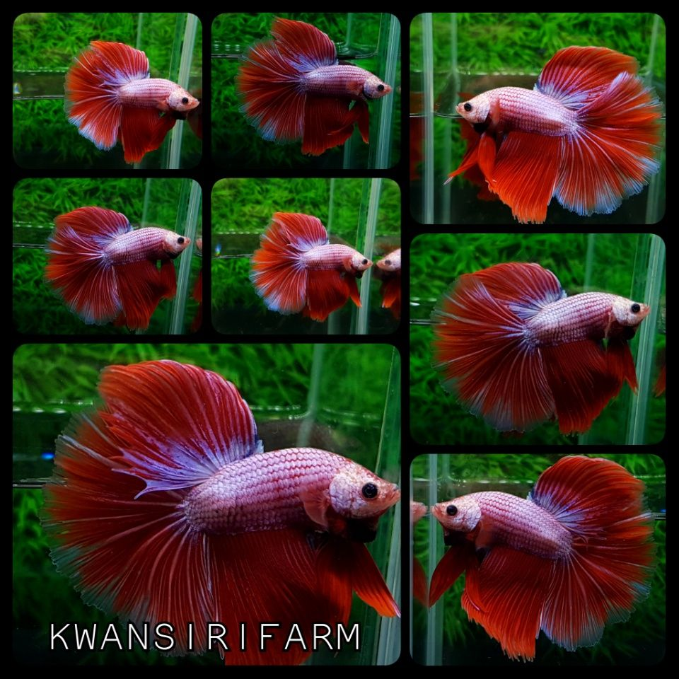 HM. RED PINK DRAGON | Beautiful Betta Fish | Pinterest | Betta and ...