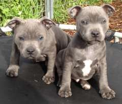 Purebred Blue English Staffy Pups Puppies For Sale Adelaide