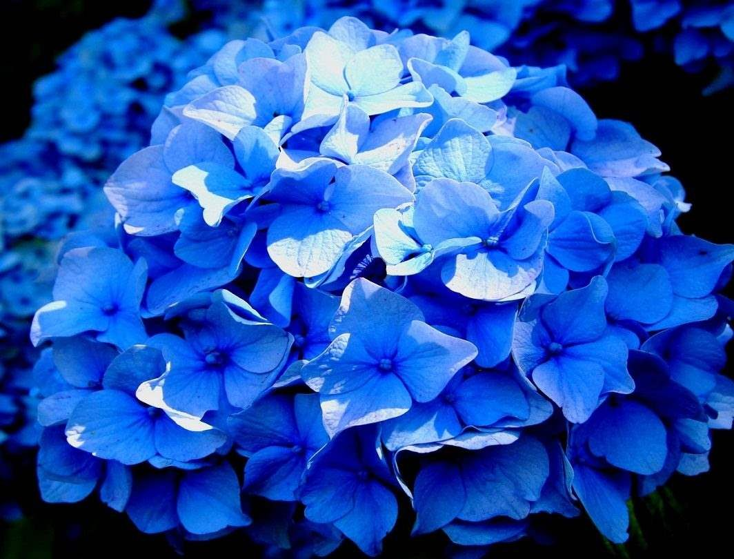 Como Controlar Y Cambiar El Color De Las Hortensias Jardineria - Color-de-las-hortensias