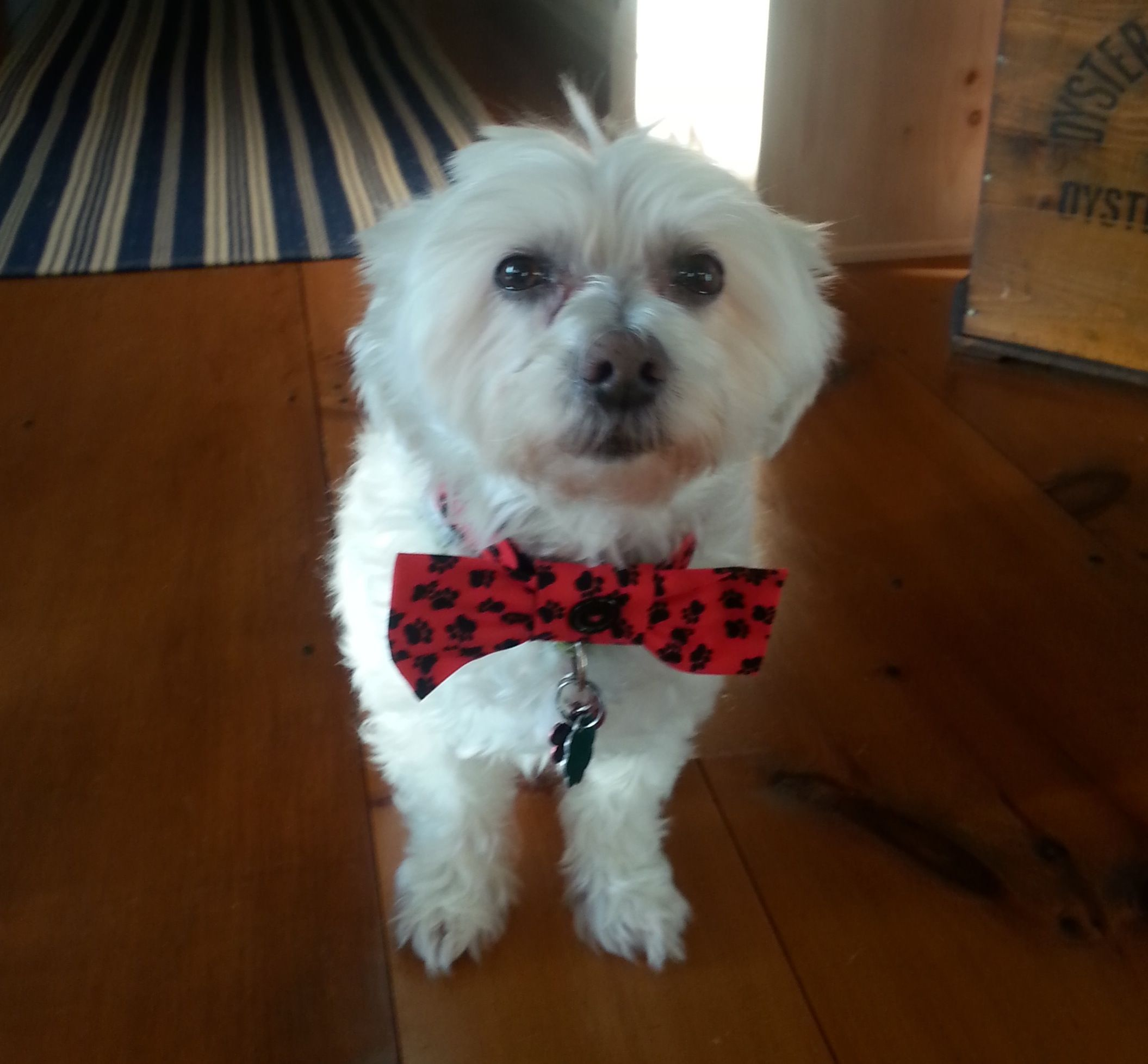 Muppet in NY Available for Adoption from Havanese Rescue