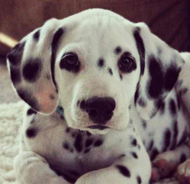 Dalmatian Puppies For Sale North Western Cape South Africa