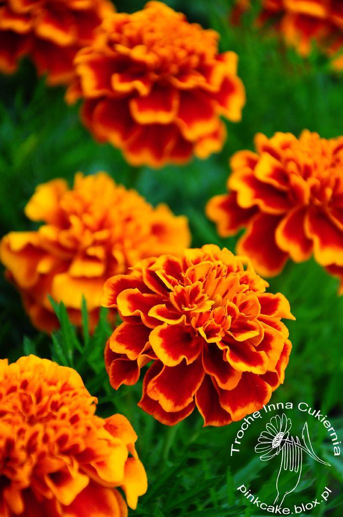 Aksamitka Rozpierzchla Dla Smaku 1000roslin Edible Flowers Plants Flowers
