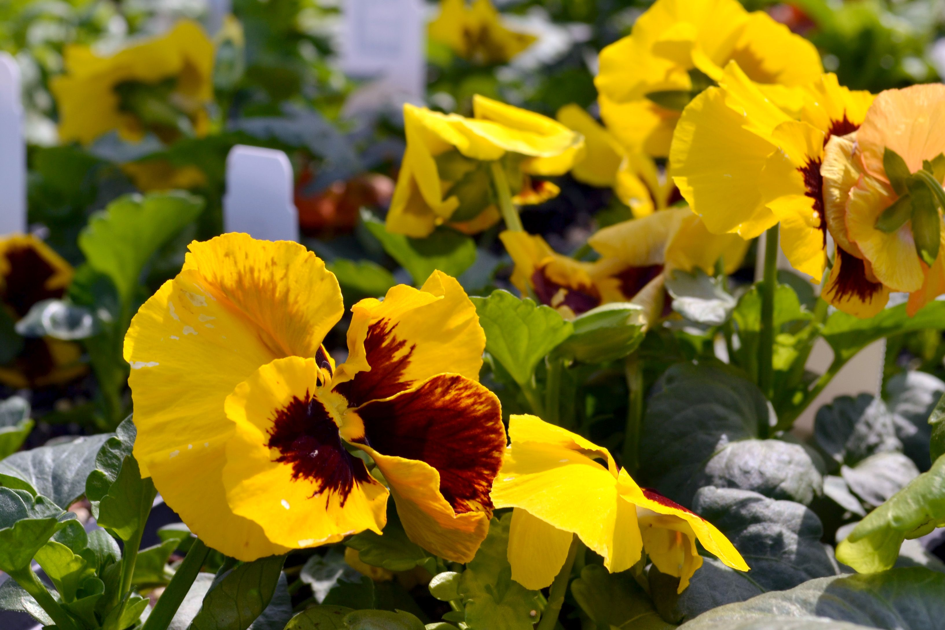 Pansy Need Gardening Advice Colonial Gardens Is Here To Suggest
