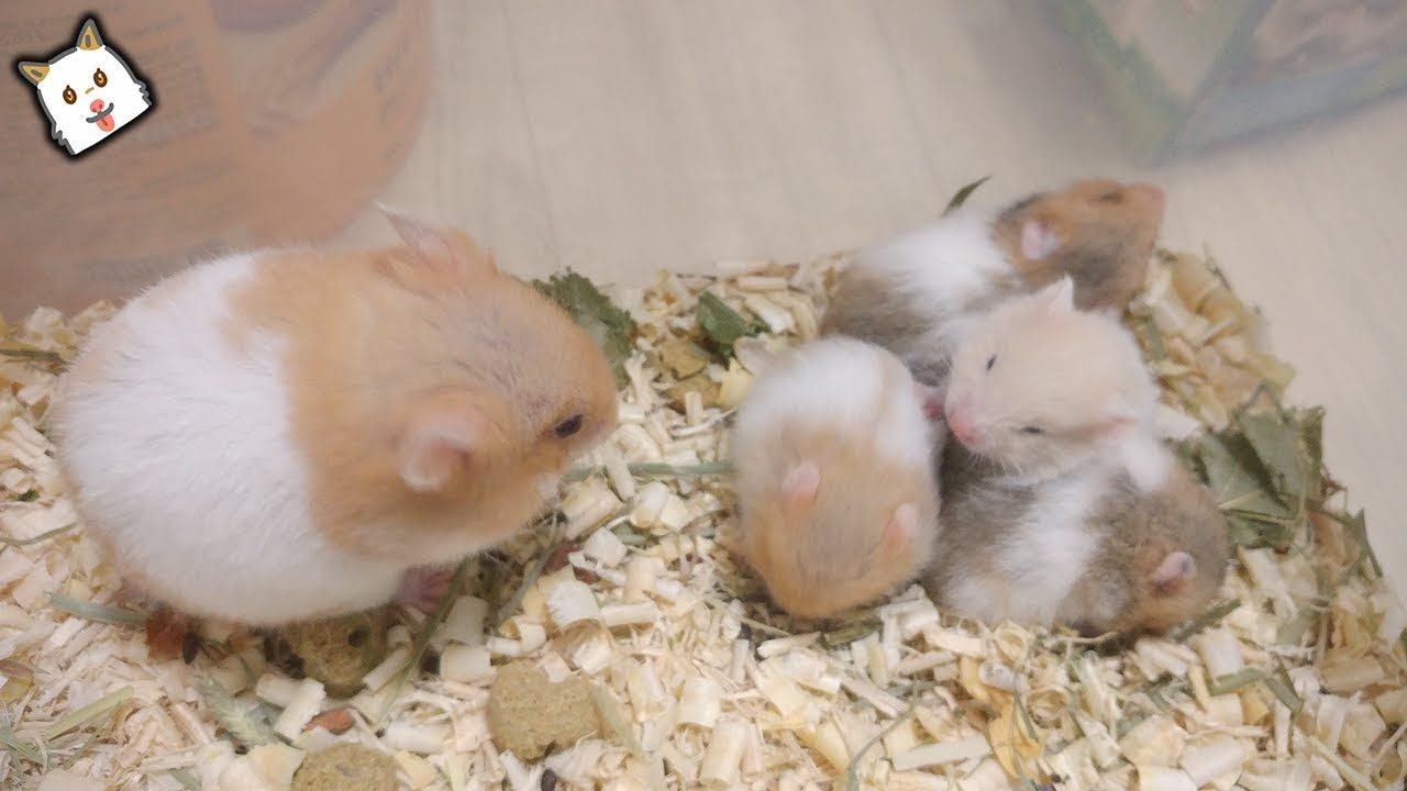 Syrian Hamsters Babies Grow Up In 3 Mins Syrian Hamster Funny