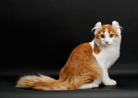 Some Top Unusual Cat Breeds On Earth