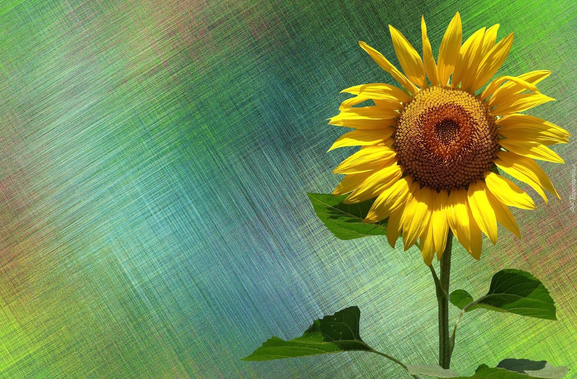 Edycja Tapety Slonecznik Zwyczajny Sunflower Illustration Sunflower Illustration