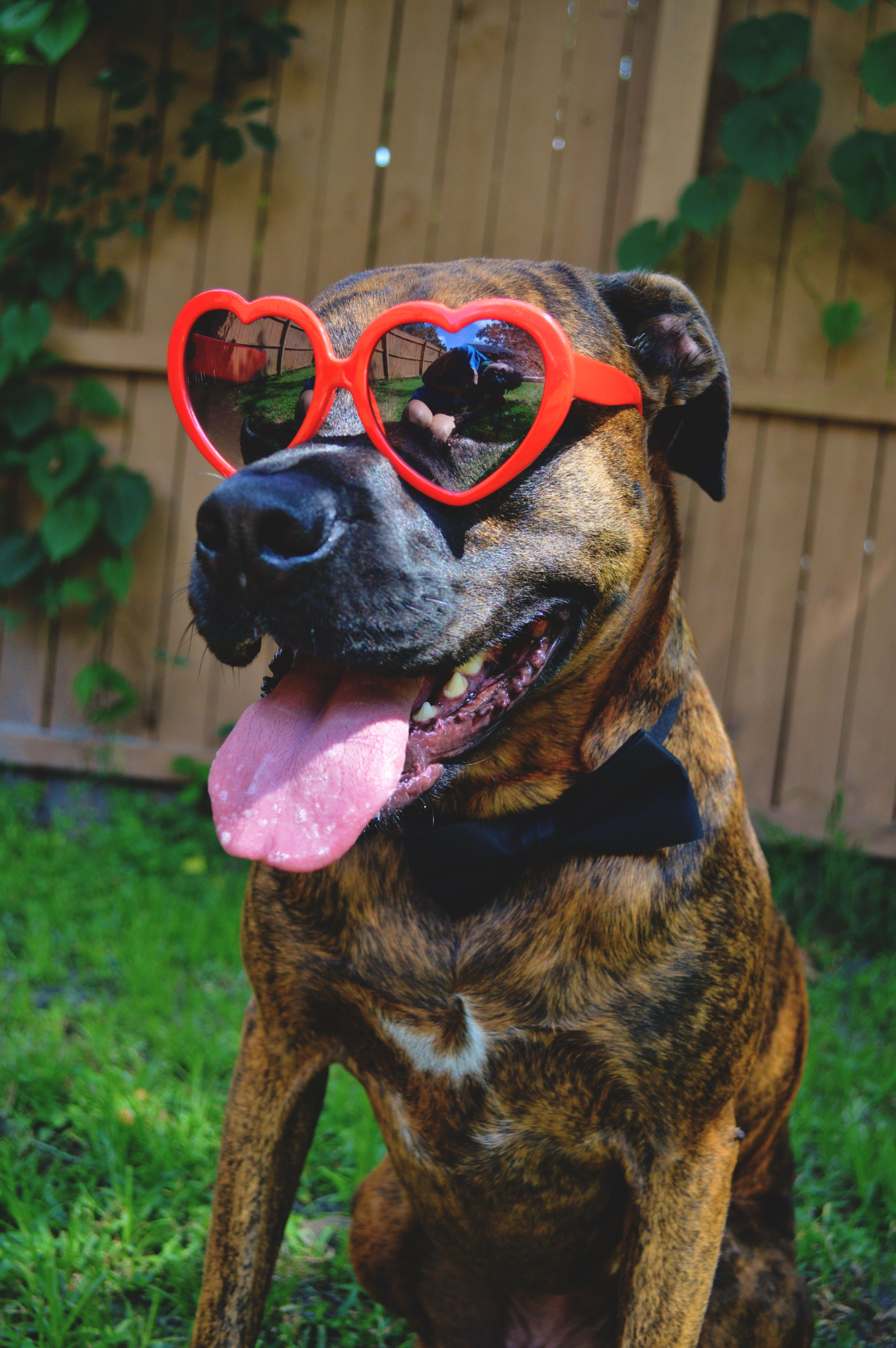 Cool Brindle Boxer Bow Adorable Dog - 8d19102f6271105995542619b8fa28bb  Perfect Image Reference_655666  .jpg