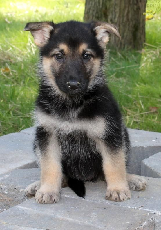 Lena German Shepherd Puppy For Sale In New Providence Pa