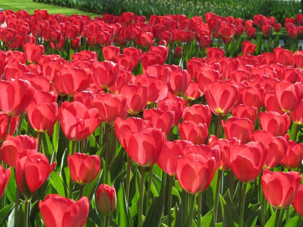 Red Tulips At Keukenhof Gardens Via Beautiful Habitat Interior Design Renderings Colorado Interior Design Red Tulips