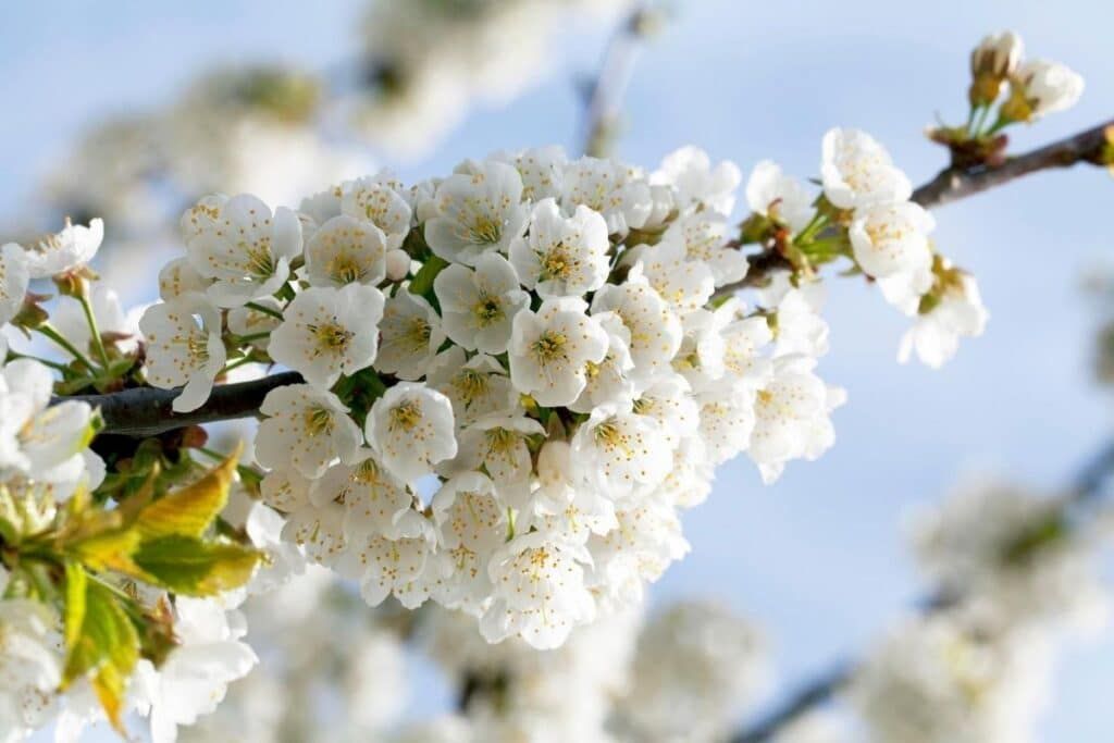 Spectacular Meaning And Symbolism Of Cherry Blossoms To Know Florgeous Cherry Blossom Flowers Flower Meanings Blossom