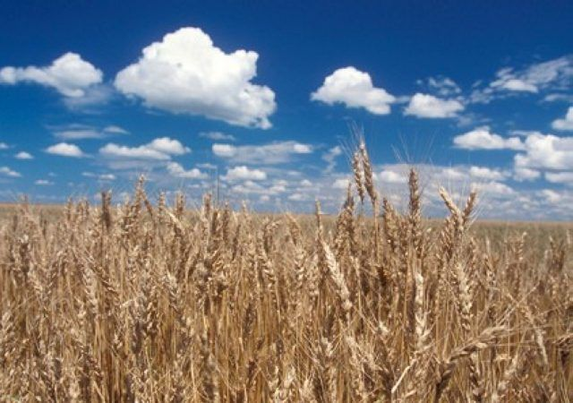 AgriNews: Rains delaying wheat harvest in some areas