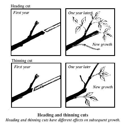 Pruning cuts should be made flush with the adjacent branch, without leaving stubs. Also, when large horizontal cuts are made, they should be slightly angled ...
