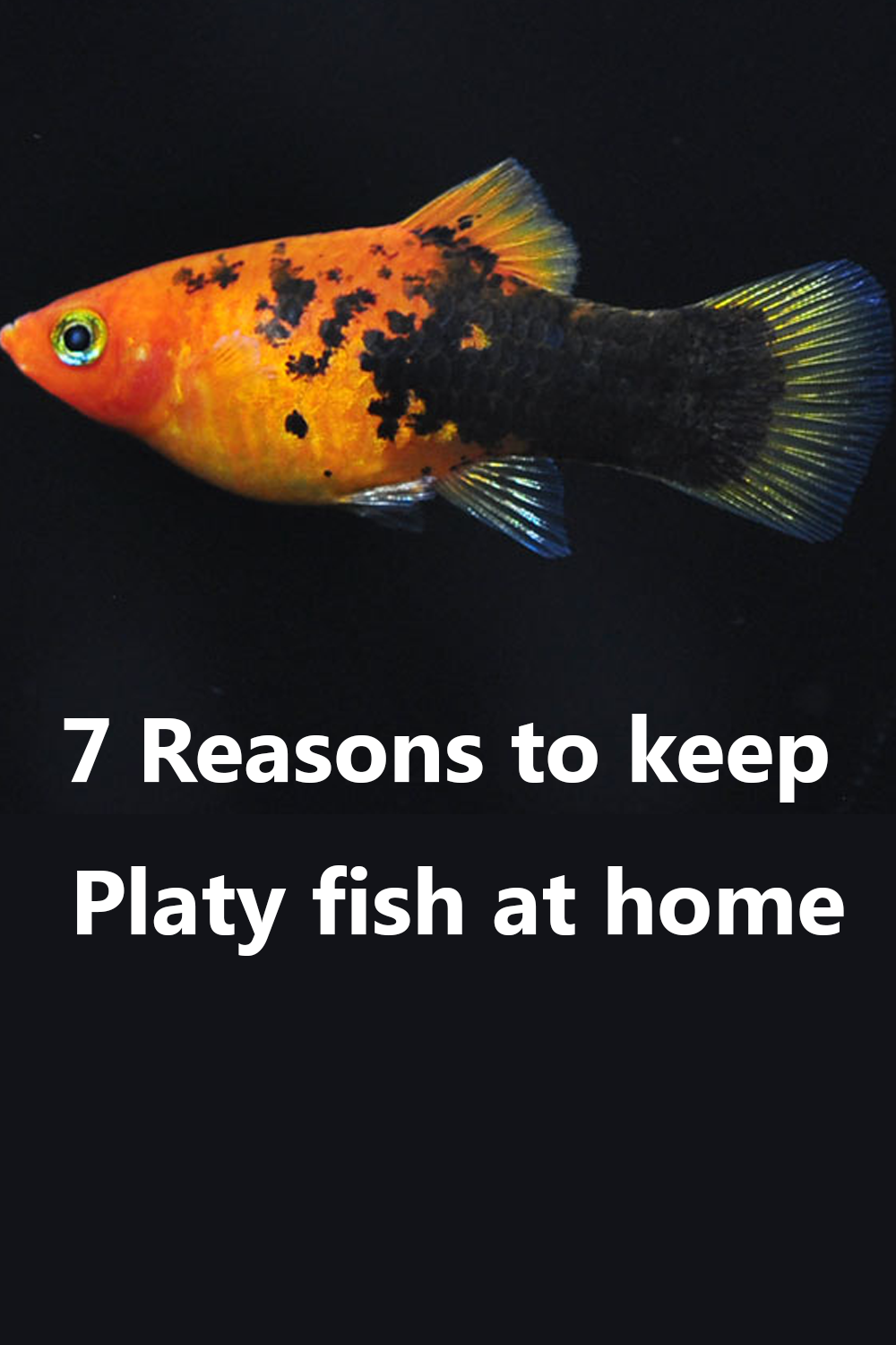 7 Reasons To Keep Platy Fish At Home Platy Fish Tropical Fish Beautiful Tropical Fish