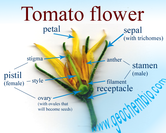 Do Tomato Plants Need Pollination Male Courgette Flowers