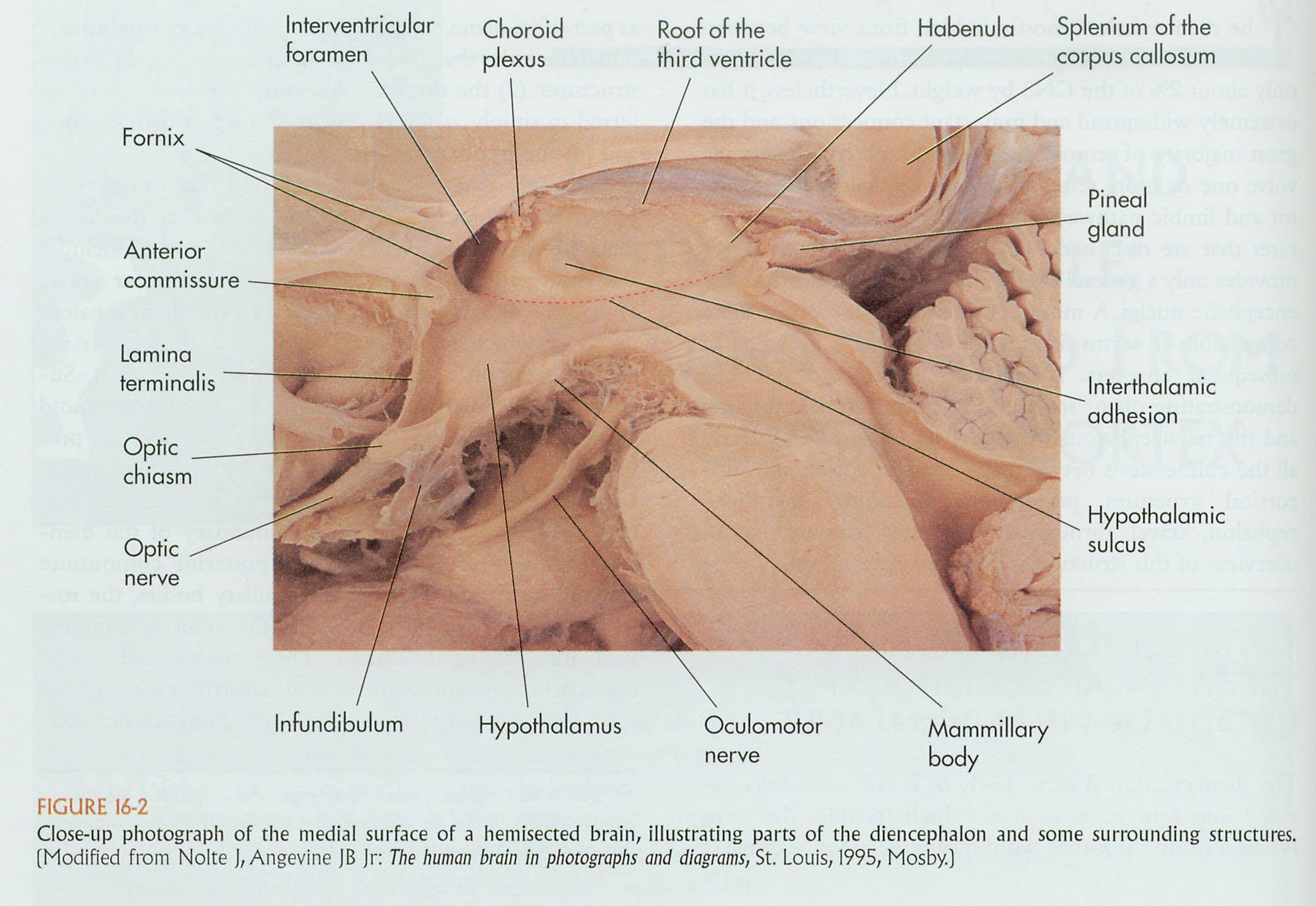 Asombroso Anatomía Macroscópica De La Cabeza Y El Cuello Colección ...