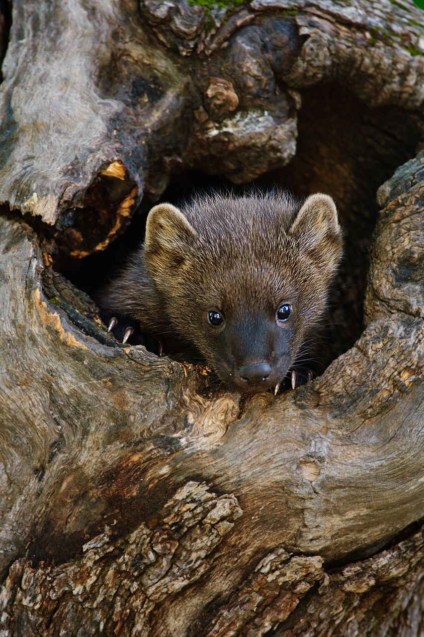 They may look cute and cuddly, but fisher cats are tough