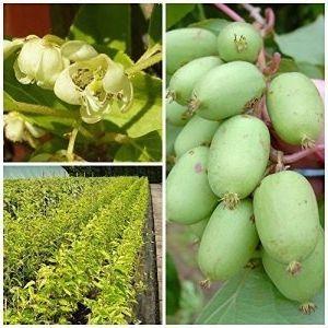 Issai Kiwi Pflanze teils selbstfruchtend glattschalig im 3 Liter Topf ca. 60-100 cm hoch gestäbt Kiwi Pflanze teils selbstfruchtend glattschalig im 3 Liter Topf ca. 60-100 cm hoch gestäbt