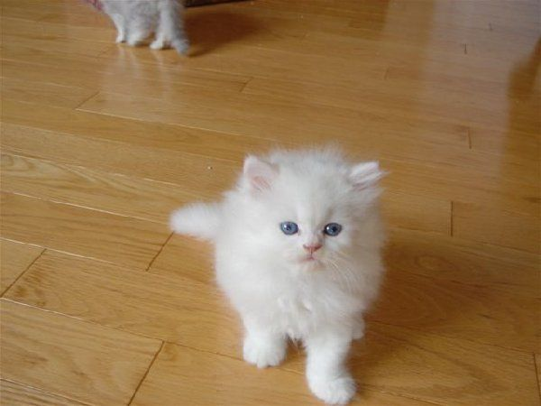 Doll Face Persian Kittens For Sale Cute Cats Pictures Persian Kittens Persian Cat Breeders Cat Breeder