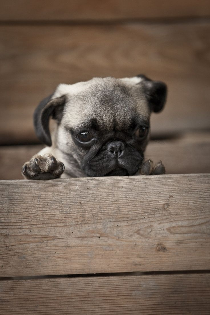 Love All Our Pets Pugs Funny Baby Pugs Pug Puppy