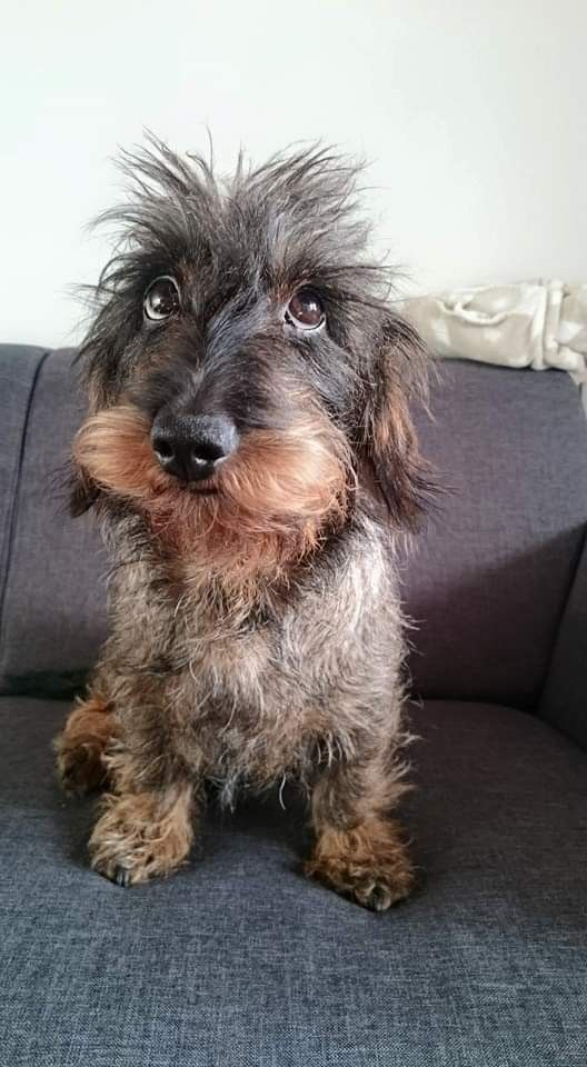 Photo of Dachshund Wirehaired 🐾