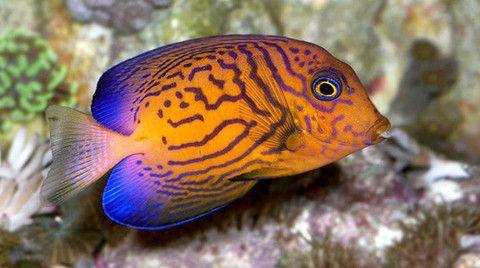 Buy Saltwater Tangs Online Live Fish For Sale Tang Fish Fish Marine Fish