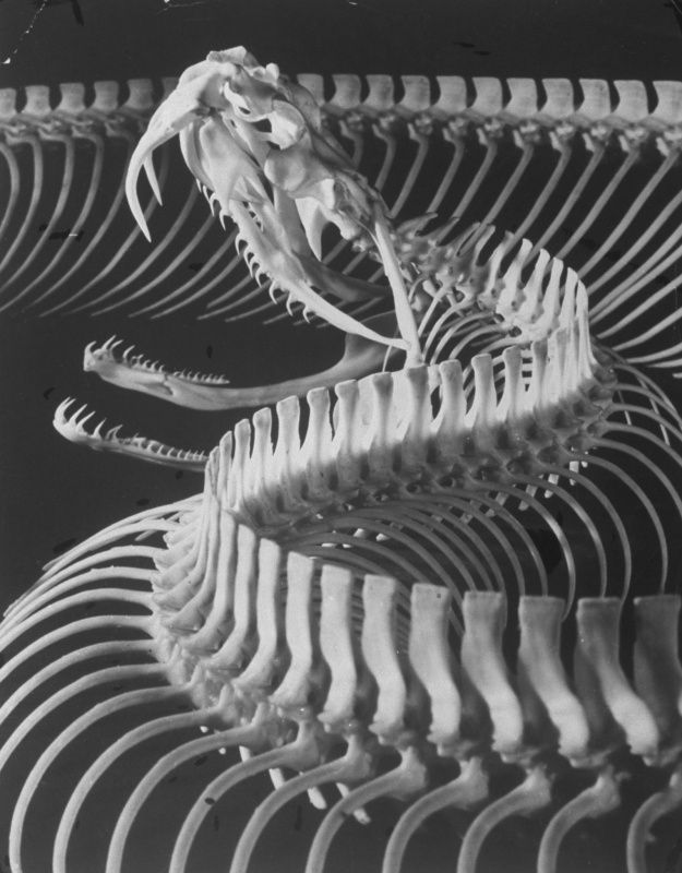 Skeletal Structure of a Viper Snake.Life Magazine, September 1951 ...