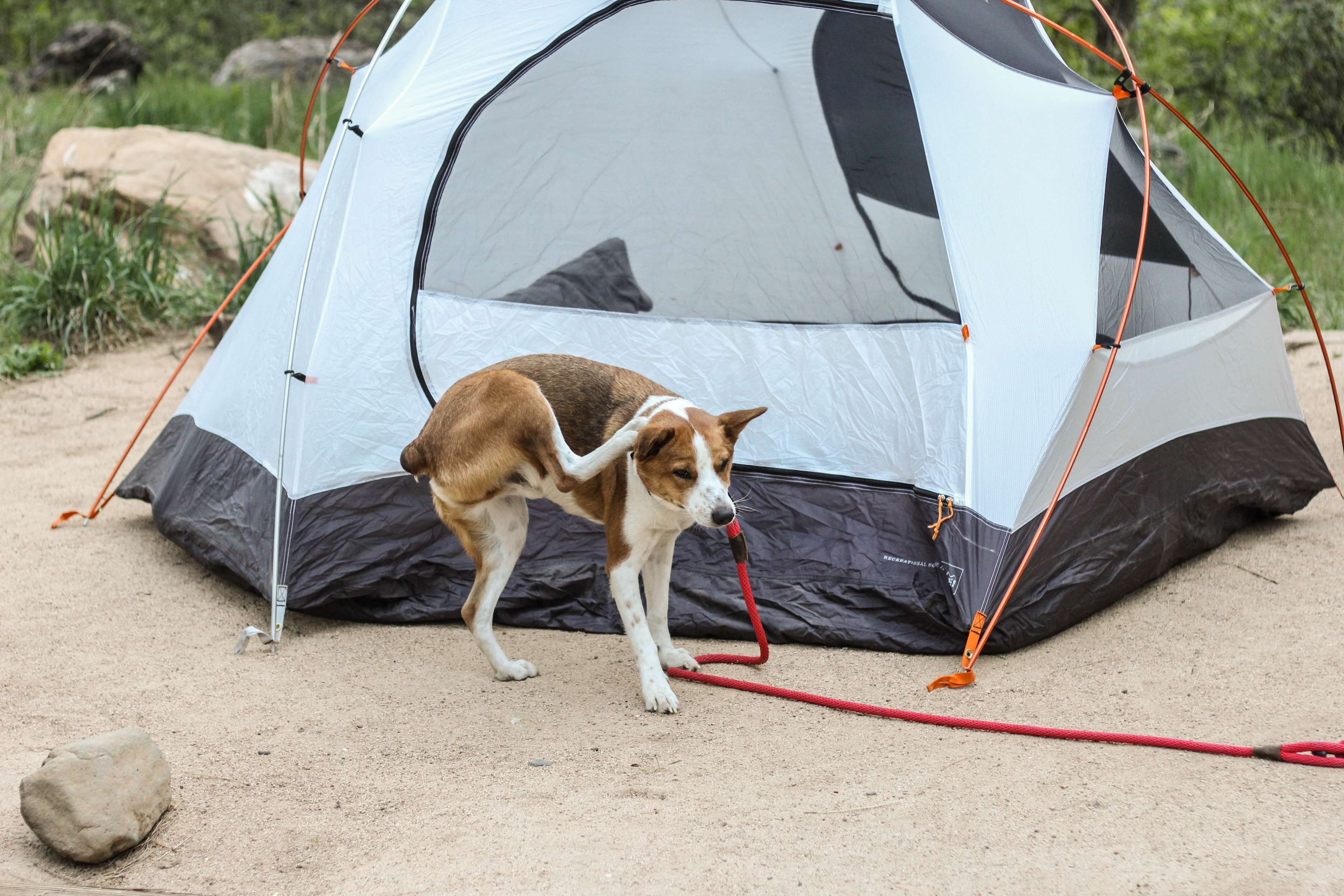 basenji #camping #cattle dog #cute #dog #tent   wallpapers and